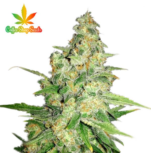 Zkittlez Feminised cannabis seeds