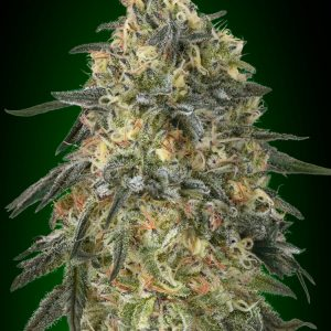 Gorilla Feminised Cannabis Seeds by 00 Seeds