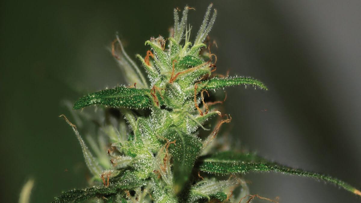 Nasz przewodnik po wyborze regularnych, feminizowanych i automatycznie kwitnących nasion konopi