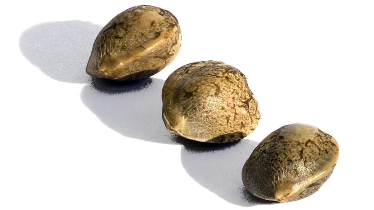 Como encontrar as melhores sementes de maconha feminizadas online