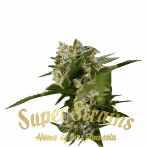 Ibiza farmer Cannabis Seeds by Super Strains