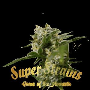 Ibiza farmer Cannabis Seeds by Super Strains