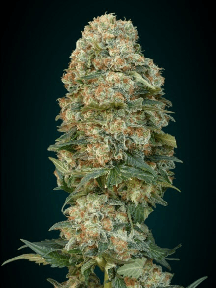 Female Mix Feminised cannabis seeds by Advanced Seeds
