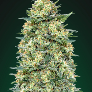 White Widow Auto Feminised Cannabis Seeds by 00 Seeds