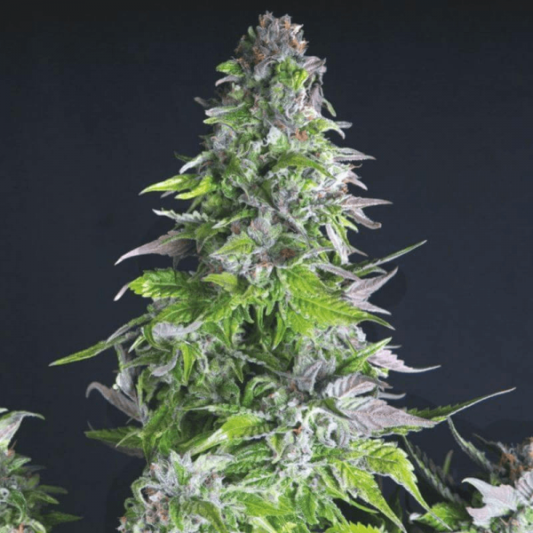 Romulan Feminised Seeds by Pyramid Seeds