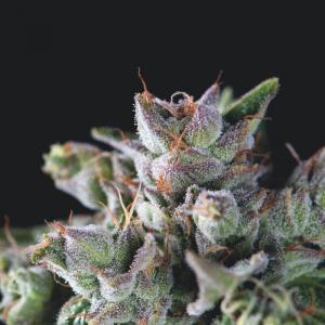Gorila Feminised cannabis seeds by Pyramid Seeds