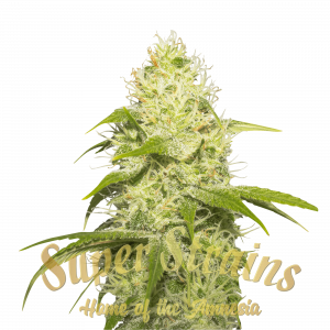 La Jefa Feminised cannabis seeds by Super Strains