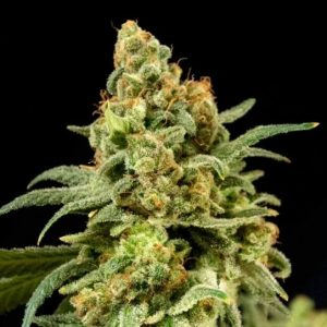 Peaches'n'Cheese feminised cannabis seeds by The House of the Great Gardener