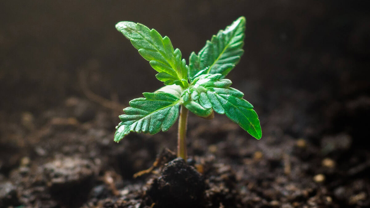 Our Guide to Mastering the Cannabis Seedling Stage