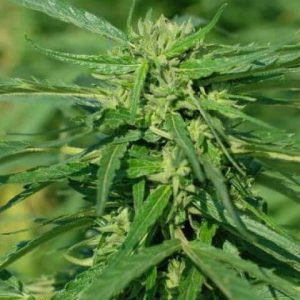 Terra Italia CBD Feminised Cannabis Seeds by Female Seeds