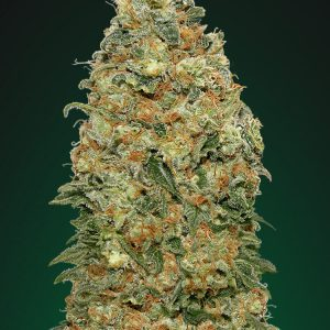 White Widow Feminised Cannabis Seeds by 00 Seeds