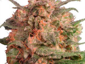 Medium THC (10-15%)