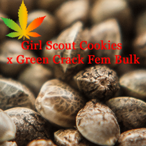 Girl Scout Cookies x Green Crack Bulk Feminised Cannabis Seeds