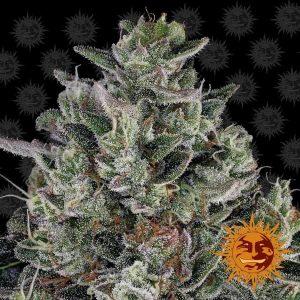 Glookies Feminised Cannabis Seeds by Barney's Farm