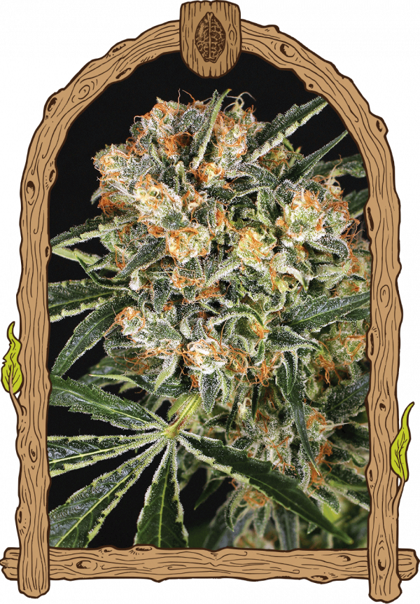 Hippie Therapy CBD Feminised Cannabis Seeds by Exotic Seeds