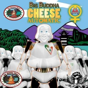 Big Buddha Cheese Auto Feminised Cannabis Seeds by Big Buddha Seeds