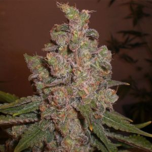 Cheese Feminised Cannabis Seeds by Expert Seeds
