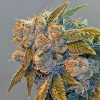 Chem Fire Regular Cannabis Seeds by BC Bud Depot