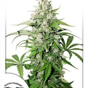 Cinderella Jack Auto Feminised Cannabis Seeds by Dutch Passion