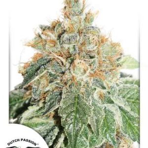 Colorado Cookies Auto Feminised Cannabis Seeds by Dutch Passion
