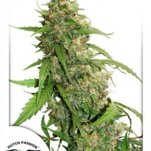 Compassion Lime CBD Auto Feminised Cannabis Seeds by Dutch Passion