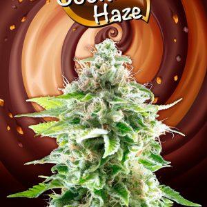 Cookies Haze Feminised Cannabis Seeds by Kannabia Seeds
