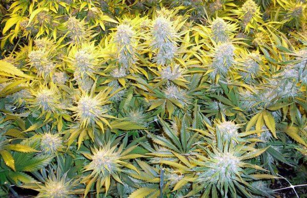 Critical Mass CBD Feminised Cannabis Seeds by Phoenix Seeds