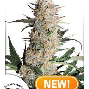 Critical Orange Punch Feminised Cannabis Seeds by Dutch Passion