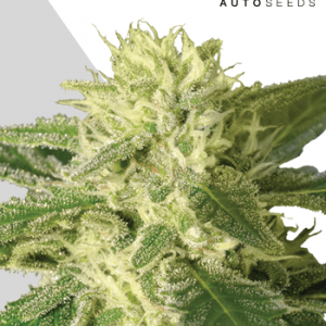 Auto #1 Auto Feminised Cannabis Seeds by Auto Seeds