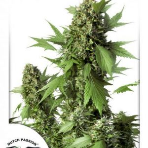 Duck Auto Feminised Cannabis Seeds by Dutch Passion