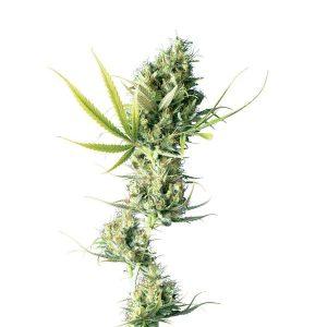 Durban Feminised Cannabis Seeds by Sensi Seeds