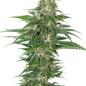 Early Skunk Auto Feminised Cannabis Seeds by Sensi Seeds