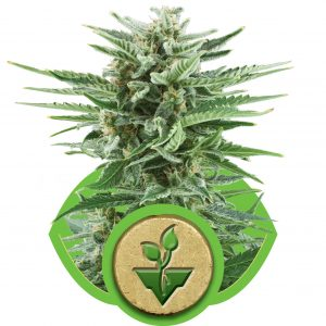 Easy Bud Auto Feminised Cannabis Seeds by Royal Queen Seeds