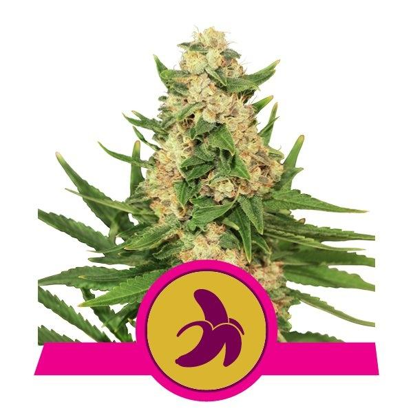 Fat Banana Feminised Cannabis Seeds by Royal Queen Seeds