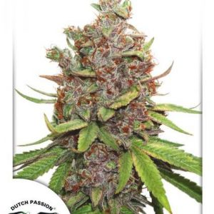 Glueberry O.G. Auto Feminised Cannabis Seeds by Dutch Passion