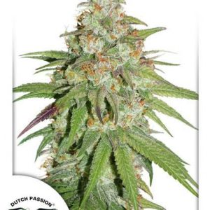 Glueberry O.G. Feminised Cannabis Seeds by Dutch Passion