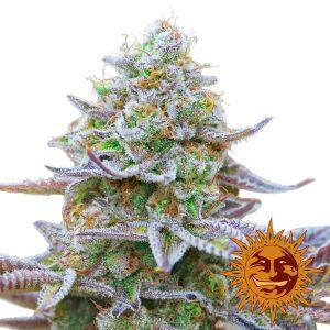 Gorilla Zkittlez Feminised Cannabis Seeds by Barney's Farm Seeds