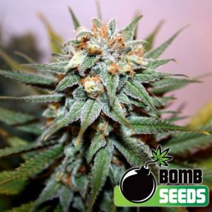 Hash Bomb Feminised Cannabis Seeds by Bomb Seeds