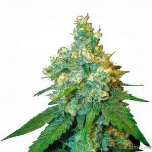 Jack Herer Feminised Cannabis Seeds by Sensi Seeds