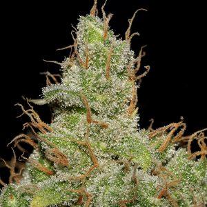 Jack Herer Feminised Cannabis Seeds by Seedsman