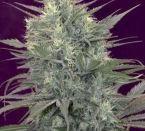 Kalichakra Regular Cannabis Seeds by Mandala Seeds