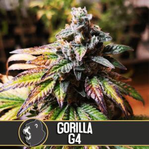 Gorilla Glue #4 Feminised Bulk Cannabis Seeds