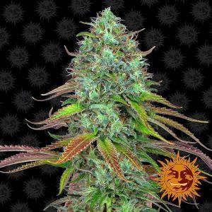 LSD Auto Feminised Cannabis Seeds by Barney's Farm Seeds