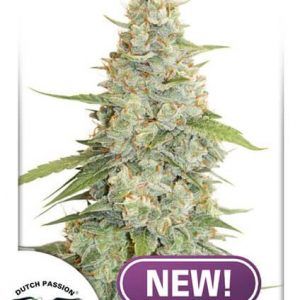Meringue Feminised Cannabis Seeds by Dutch Passion