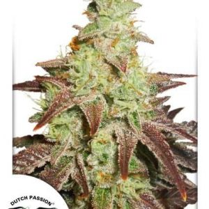 Night Queen Auto Feminised Cannabis Seeds by Dutch Passion