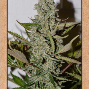 Northern Cheese Haze Auto Feminised Cannabis Seeds by Mephisto Genetics