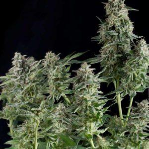 Northern Lights Feminised Marijuana Seeds by Pyramid Seeds