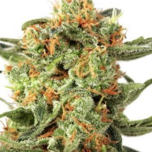 Orange Hill Special Feminised Cannabis Seeds by Dutch Passion