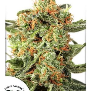 Orange Hill Special Regular Cannabis Seeds by Dutch Passion