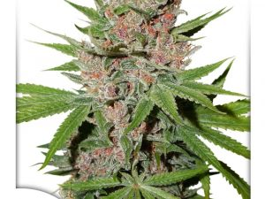 Semillas de cannabis feminizadas Passion Fruit de Dutch Passion